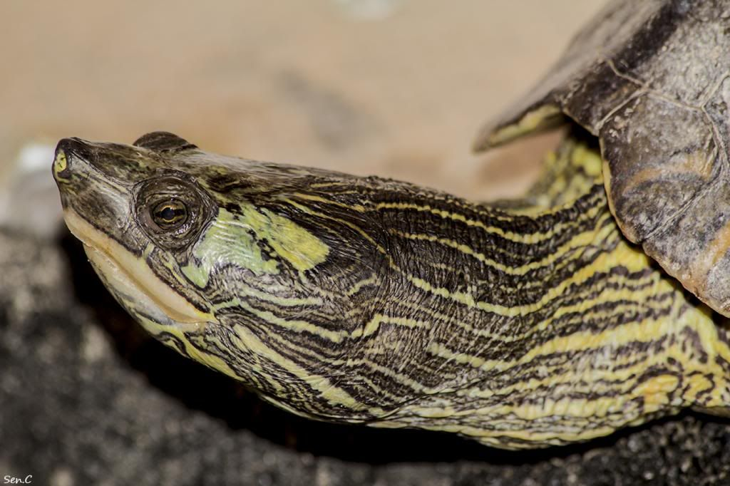 Mes tortues...(SEN.C) - Page 17 IMG_3059_zps14114cf0