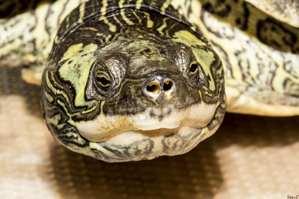 Mes tortues...(SEN.C) - Page 17 IMG_3066_zpsf10cb864