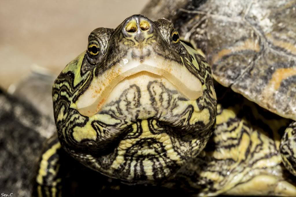 Mes tortues...(SEN.C) - Page 17 IMG_3067_zps83ac3a96