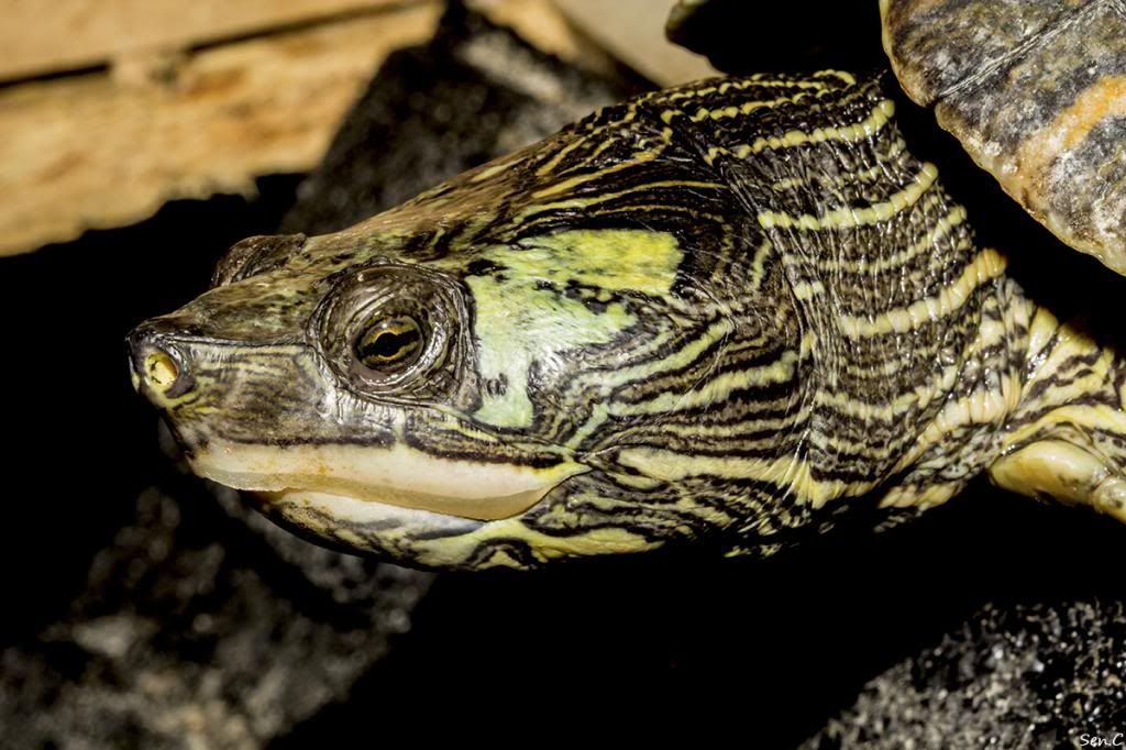 Mes tortues...(SEN.C) - Page 17 IMG_3069_zps68710584