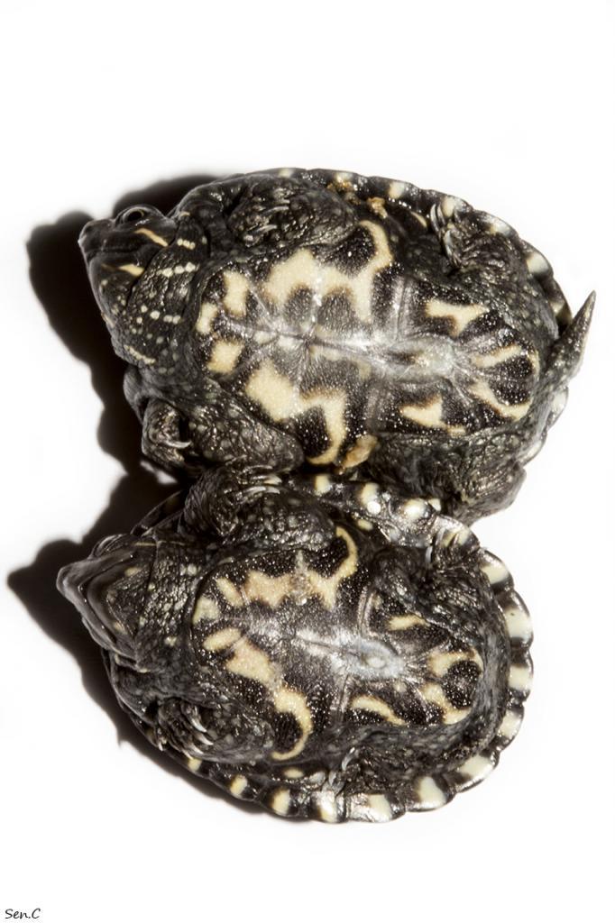 [A vendre] Sternotherus odoratus IMG_5914_zps08b34183