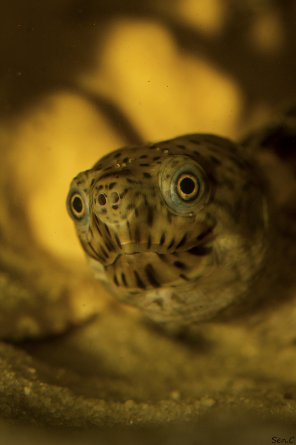 Mes tortues...(SEN.C) - Page 3 IMG_8332-1_zpsf03b5584
