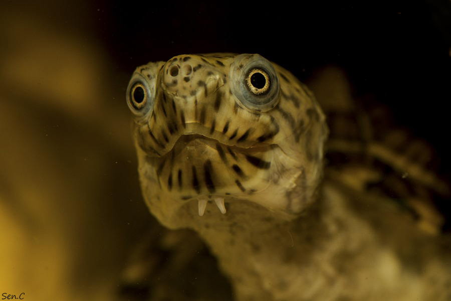 Mes tortues...(SEN.C) - Page 3 IMG_8379_zps58cd502e