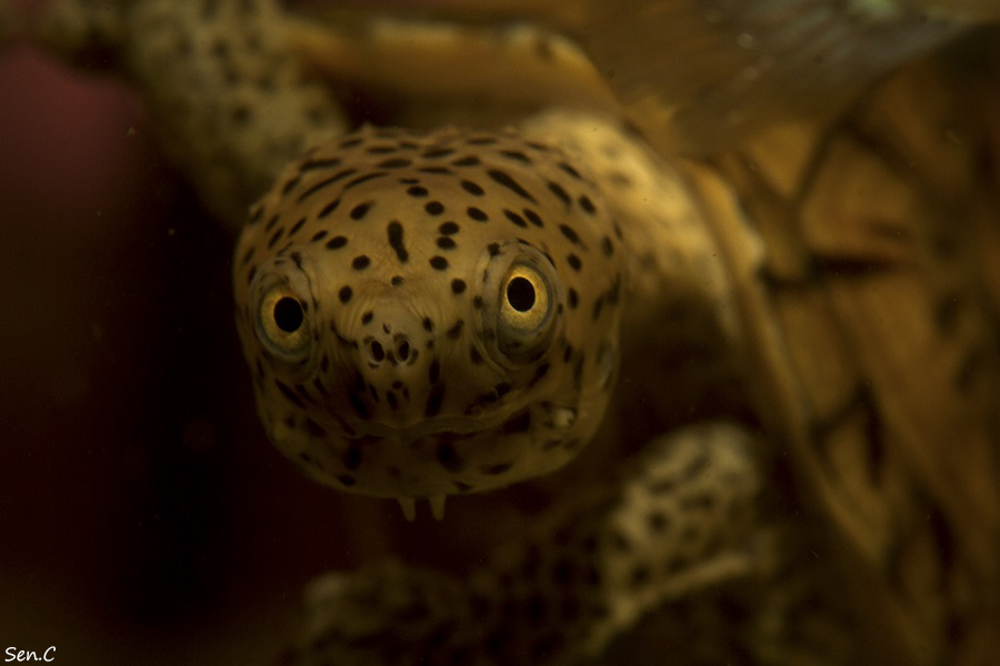 Mes tortues...(SEN.C) - Page 3 IMG_8393_zpsce48682d