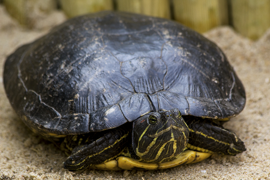 Mes tortues...(SEN.C) - Page 5 IMG_8821_zps7097dc56