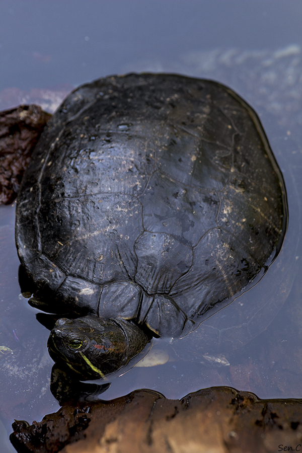 Mes tortues...(SEN.C) - Page 5 IMG_8855_zps7c772bb7