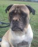 DUKE - Male - Bullmastiff - 4 yrs old - KENT Th_2011-11-24115413