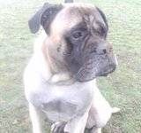 DUKE - Male - Bullmastiff - 4 yrs old - KENT Th_PICT1293
