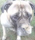 DUKE - Male - Bullmastiff - 4 yrs old - KENT Th_PICT1297