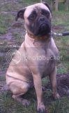 LOLA - Bullmastiff - 11 months - KENT Th_Lola1