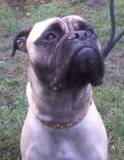 LOLA - Bullmastiff - 11 months - KENT Th_lola2