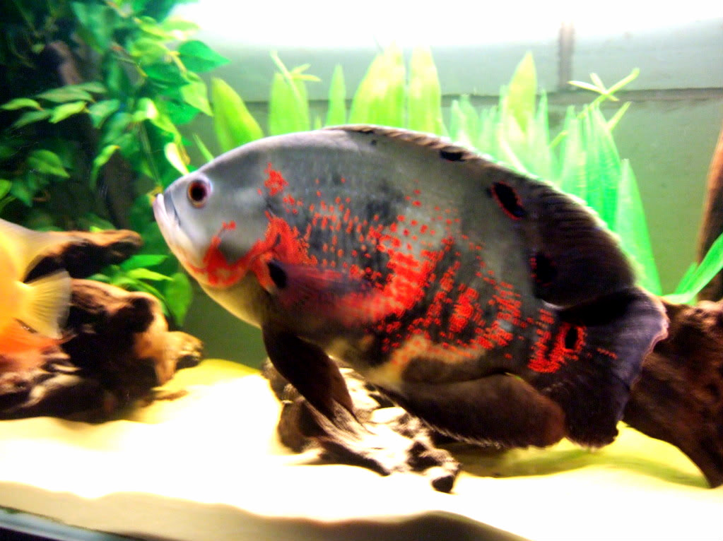 Top 6Most Aggressive Cichlid Of All Time 006-7-2