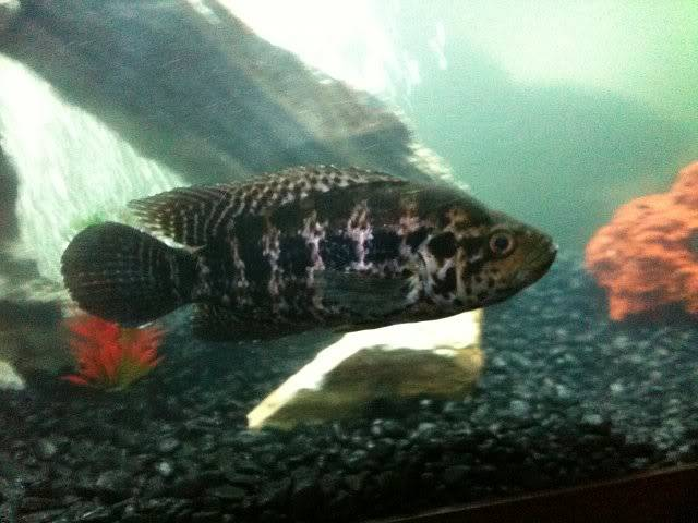 Top 6Most Aggressive Cichlid Of All Time IMG_0666