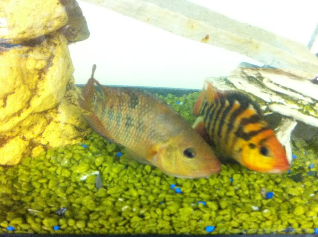 Top 6Most Aggressive Cichlid Of All Time ImageUploadedByMonsterAquariaNetwork1328284548093836