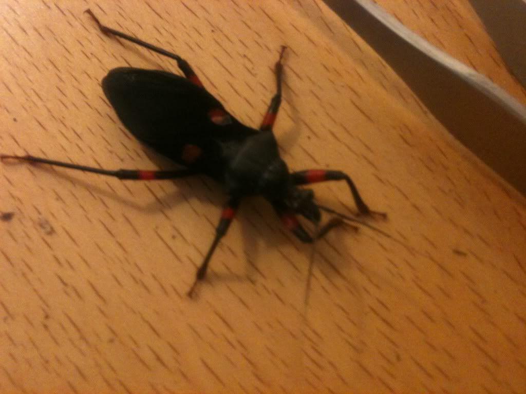 Assassin Bugs Photo-22