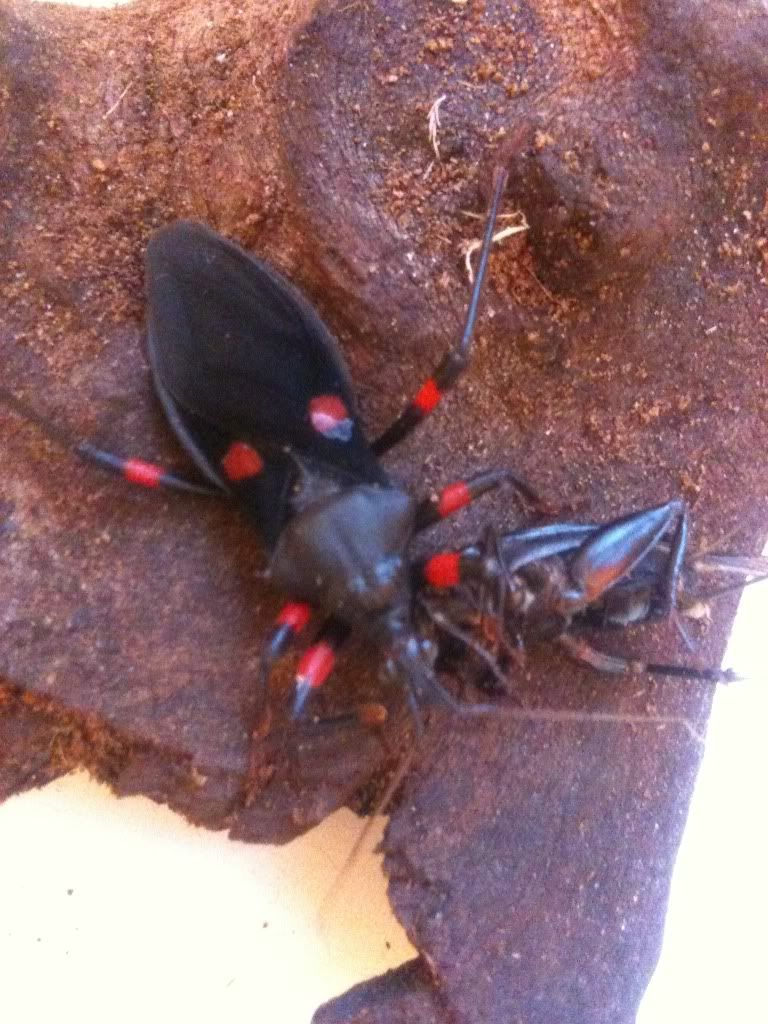 Assassin Bugs Photo-23