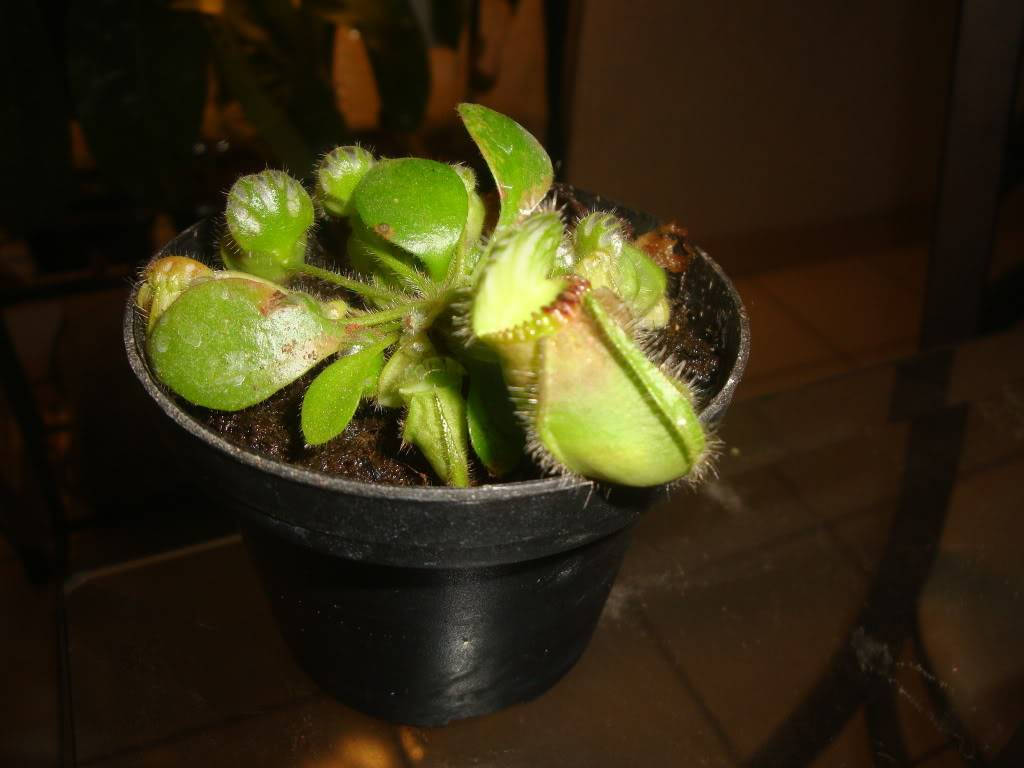 mis cephalotus DSC04954