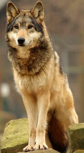 Pollux Wolf_WisT1404-Tala-04_zps51d9d25b