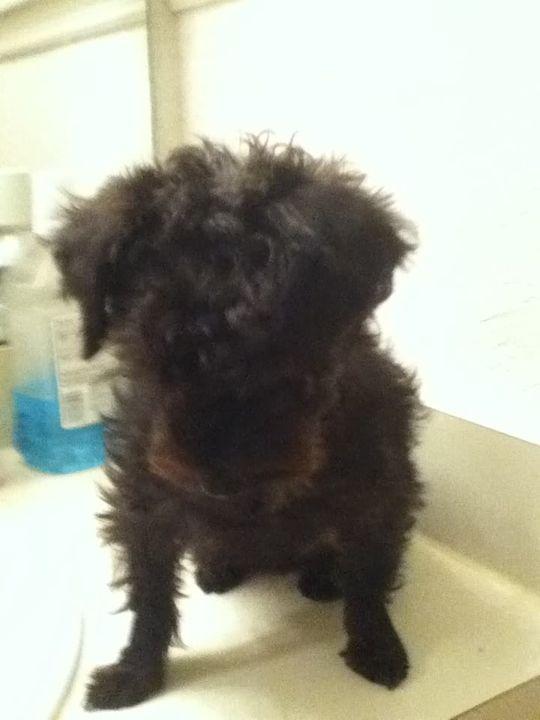 Izzy, my Yorkie-Poo! 012