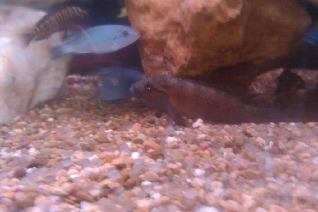 what kind of cichlid is this IMAG0134
