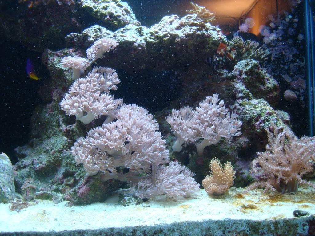 trade for soft corals?? DSC02598