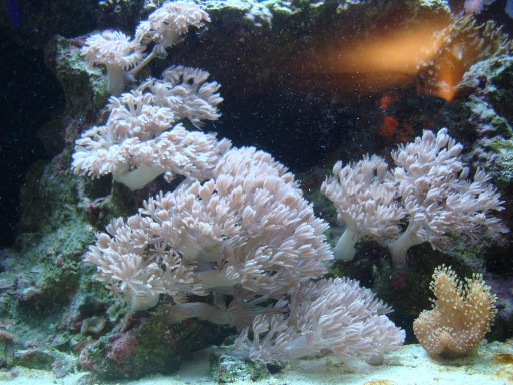 trade for soft corals?? DSC02599