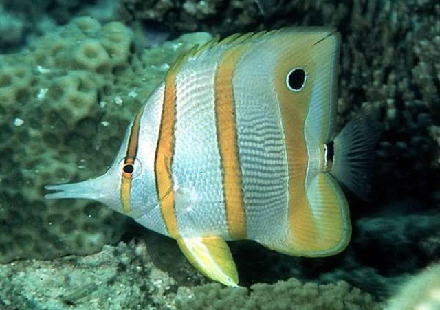 Copperband Butterfly 41Copperband_butterflyfish1Small