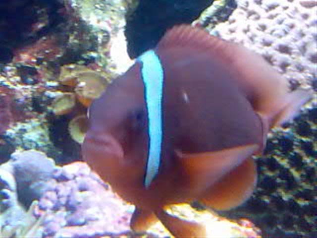 Clown fish Image093Small
