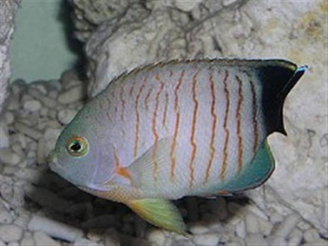 Orangelined Angelfish Cmartinsenangel_2501Small