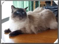 Humphrey 9 year old seal colour point ragdoll seeks home Humphrey_thm