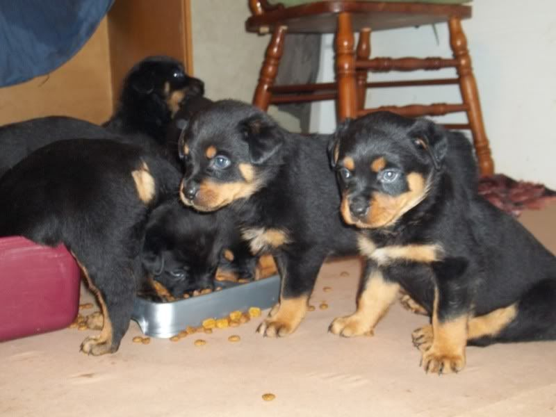 The puppies are growing Rotpups024