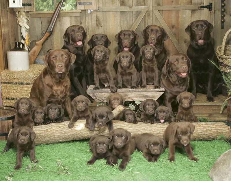 I want the brown one The_ultimate_picture_of_chocolate_labs