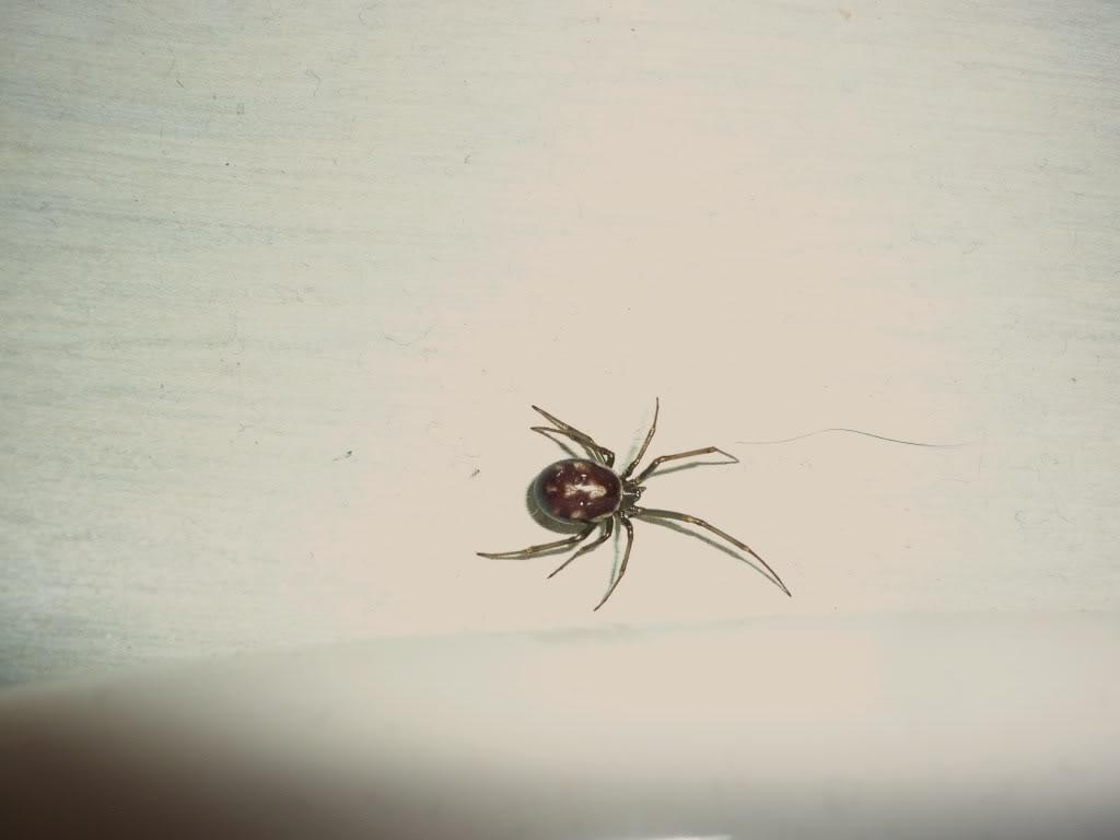 De quelle espèce est cette araignée ? P1060613