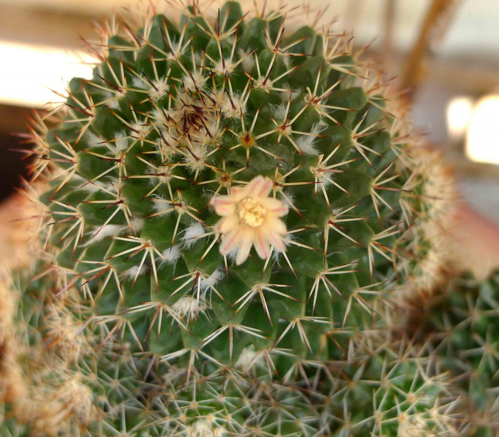 Appreciate your assistance to ID 2 Mamms. Thanks. Mammillaria_SU3_zpse56a56d5