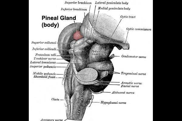 Pineal Glad Detox and Some Related Information  Pineal-gland-wallpaper