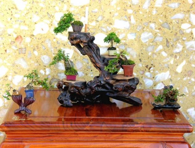 Mame Bonsai - smaller than small. Mctttnm3