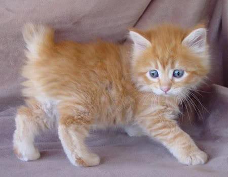 Ngắm những giống mèo kì lạ Meotaillonghairjpg-115427
