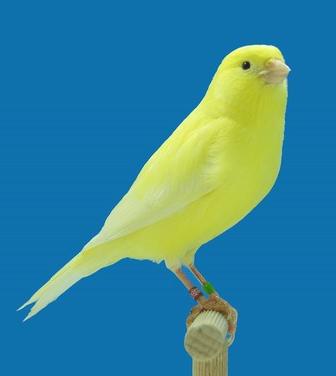 Identification of Yellow lipochrome IntensiveYellowIvory