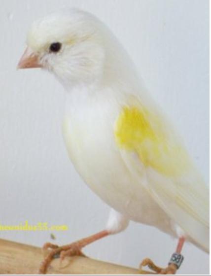 Identification of Yellow lipochrome MosaicYellowLipochromeHen1