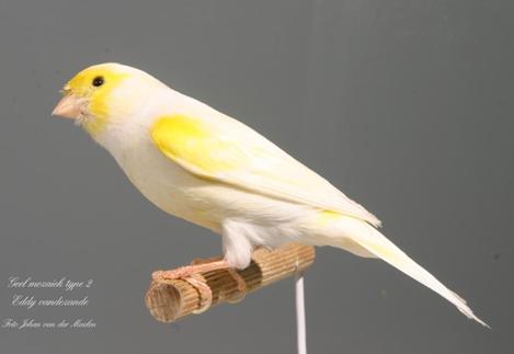Identification of Yellow lipochrome MosaicYellowcock