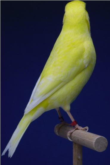 Identification of Yellow lipochrome Non-intensiveYellowIvoryCockLipochrome