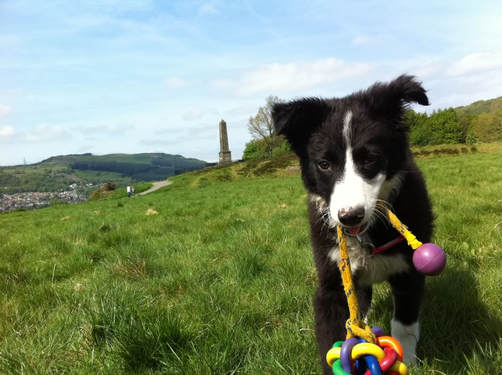 Kelsey a 10 week old Collie X fostered by Four Paws Animal Rescue (South Wales) Iphone026