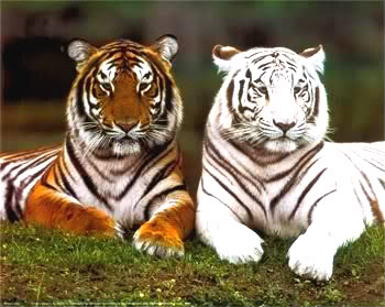 Animals - Page 2 Tigers-14