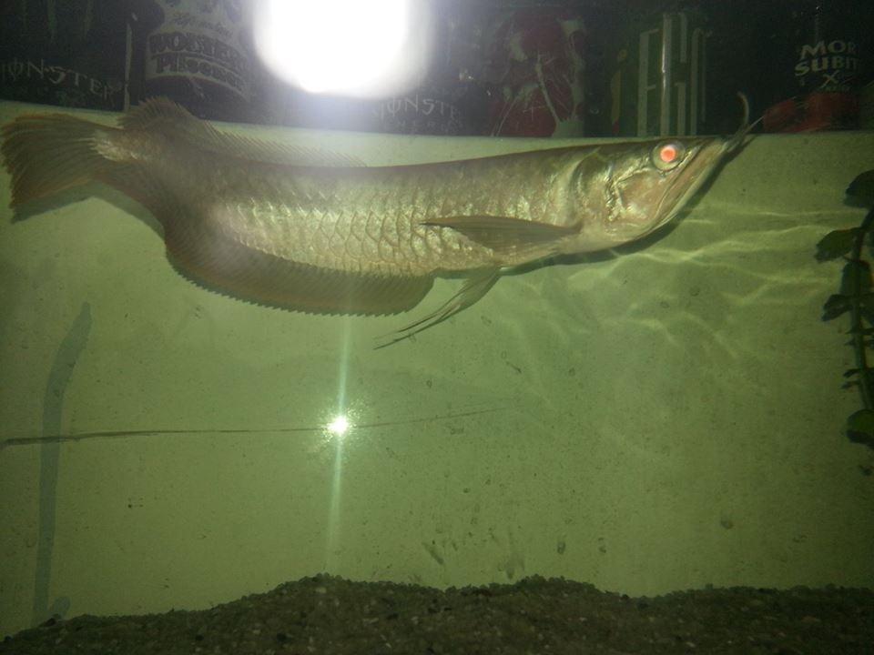 El pez mas caro del mundo Aa551dce50993fb95583ee7b496b52d2_zps6916591e