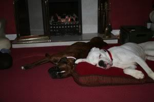 Bautiful BOXER boy needs forever home 82351aa7