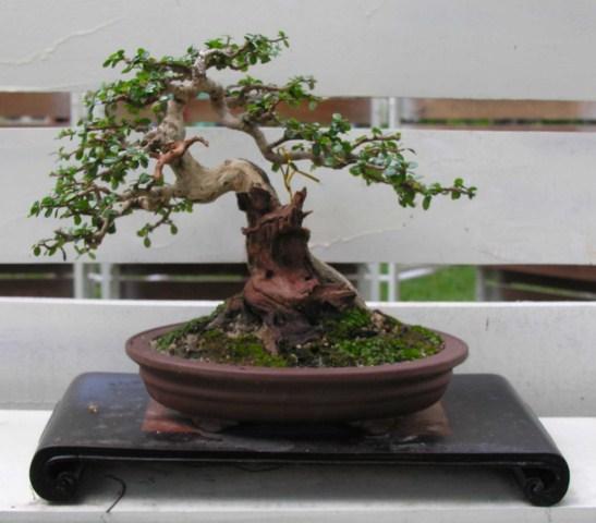 Bonsai exhibition at Spring Flower Festival (viet Nam) Antidesmaacidum8_SH