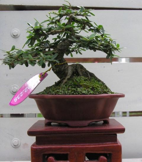 Bonsai exhibition at Spring Flower Festival (viet Nam) Desmodiumunifoliatum