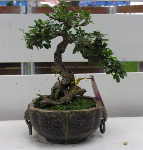 Bonsai exhibition at Spring Flower Festival (viet Nam) Desmodiumunifoliatum2