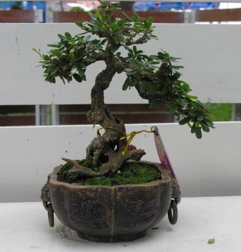 Bonsai exhibition at Spring Flower Festival (viet Nam) Desmodiumunifoliatum2