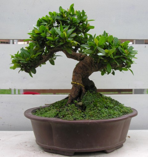 Bonsai exhibition at Spring Flower Festival (viet Nam) Ixora